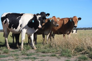 A curious herd of cows