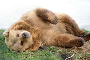 European Brown Bear relaxing in Grass