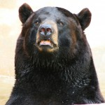 louisiana-black-bear
