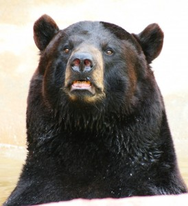 louisiana-black-bear